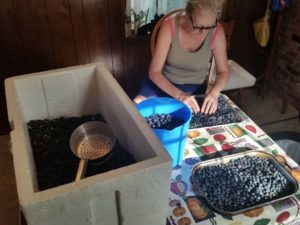 Mary sorting Blueberries