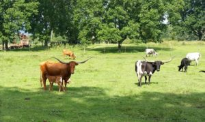 Two Cows at Pond
